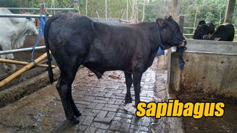Berapa Bibit Sapi Potong promo penjualan bibit sapi dan bakalan sapi potong 2014
