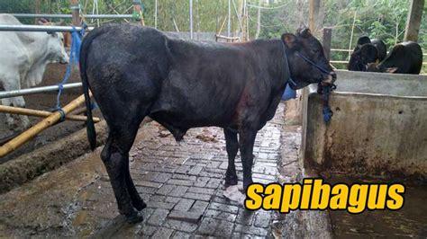 Jual Bibit Sapi Simental daftar harga jual bibit dan bakalan sapi 2016 safari ternak jual hewan qurban sapi kurban