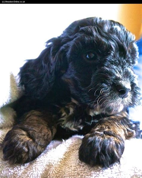 cockapoo puppies for sale nc puppies in greenville pa breeds picture