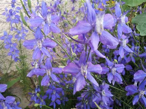 lobelia fiore lobelia coltivazione