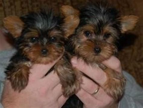 yorkie terrier for free breed terrier puppy for free adoption offer