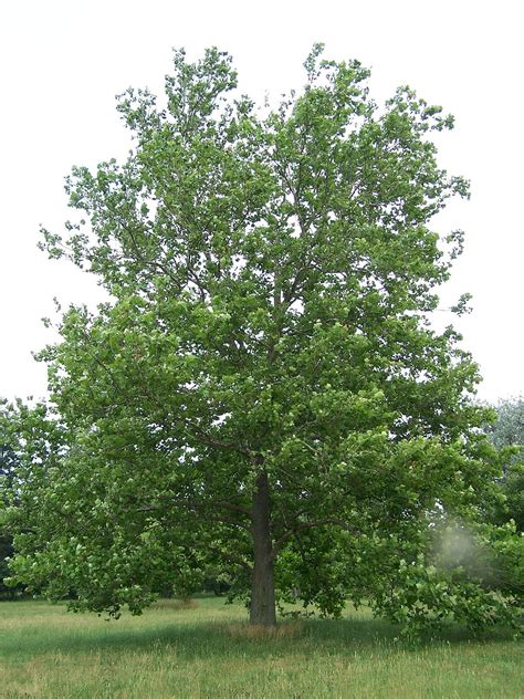 define tree platanus occidentalis wikipedia