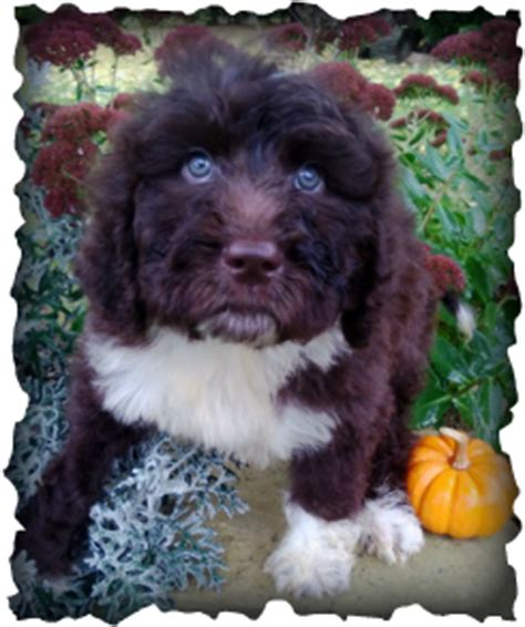 newfoundland poodle mix puppies for sale newfoundland poodle mix puppies for sale in michigan newfoundland poodles mix