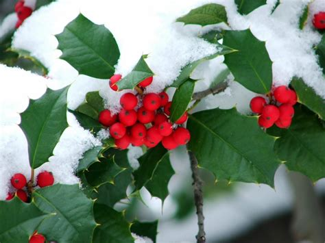 christmas plants plants holly snow union outside