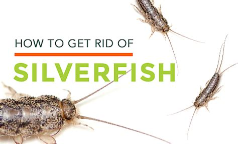 what causes silverfish in bathrooms how to get rid of silverfish silverfish habitat control