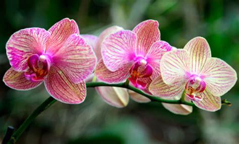 come mantenere le orchidee in vaso come curare le orchidee soluzioni di casa