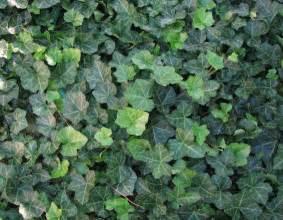 english ivy english ivy margaret s garden blog