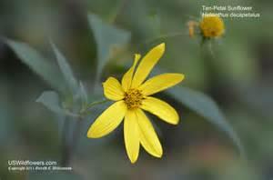 North Carolina Flower us wildflower thinleaf sunflower ten petal sunflower