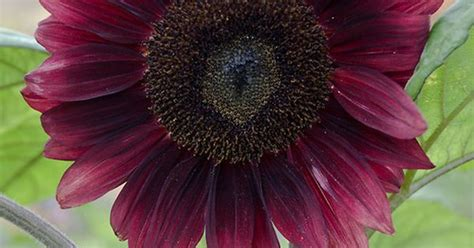 dark red sunflower black magic i had some red ones