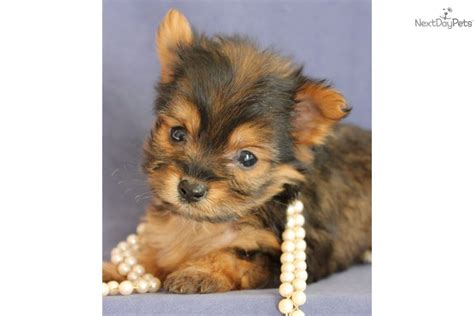 how big does a yorkie poo get 14 border poo puppies