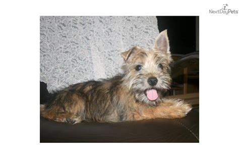 yorkie cairn terrier mix what mix is brindle yorkie breeds picture
