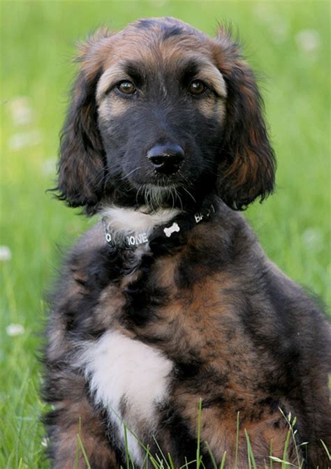 afghan hound puppy afghan hound info temperament mixes puppies pictures