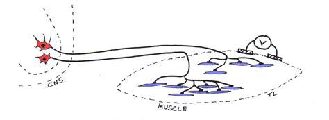 motor neuron definition motor units