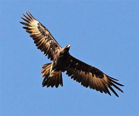 tattoo wedge tail eagle pin pin wedge tailed eagle tattoo designs on pinterest on