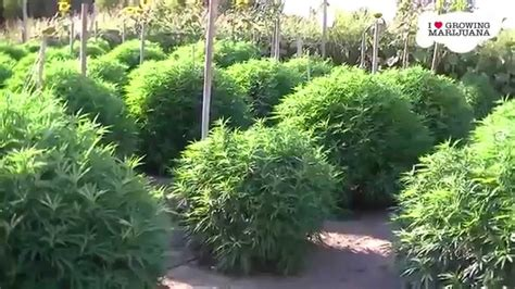 how to plant a garden in your backyard how to grow marijuana in your backyard youtube
