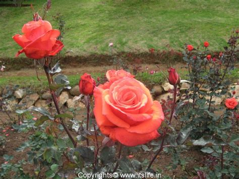 rose plant itslife in