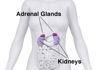 adrenal gland diagram circles your improve your gut bacteria