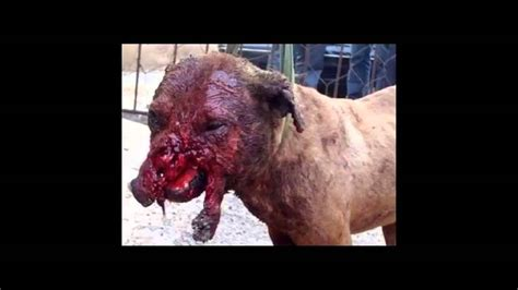 pitbull fights stop fighting and abusing pit bulls warning graphic content