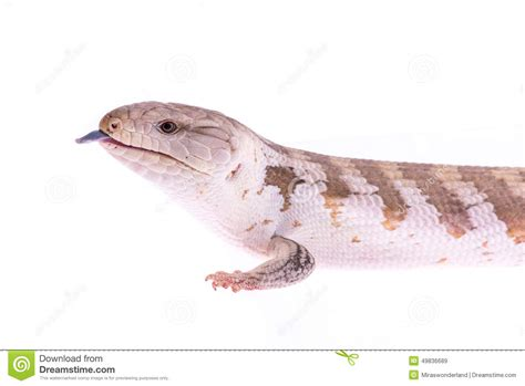 lizard out of skink lizard stock photo image 49836689