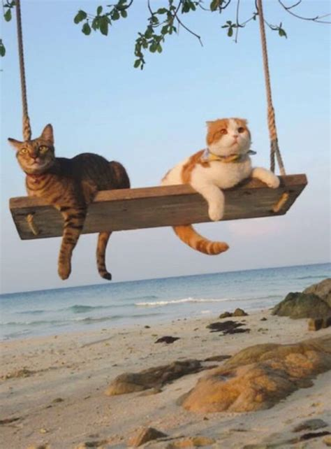 Funny Cats On Swing On The Beach   LuvBat
