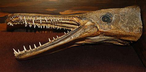 Aligator Spatula Platinum a fish pelican parts technical bbs