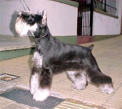 recorte mediano p peluqueria canina y cuidados de la mascota schnauzer
