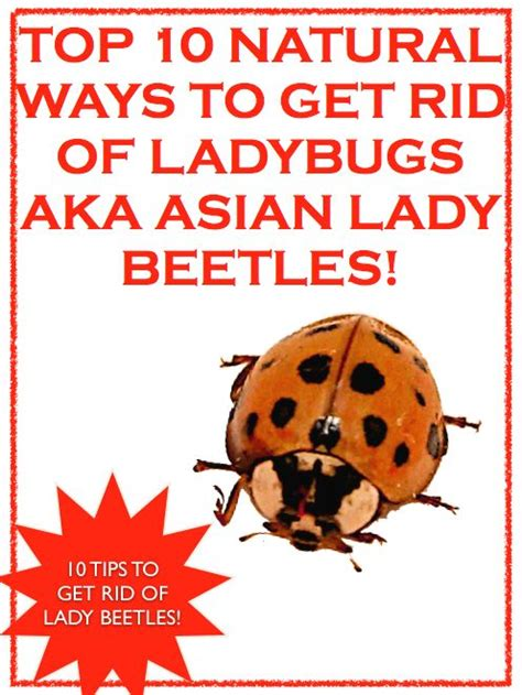 top 10 ways to get rid of ladybugs aka asian