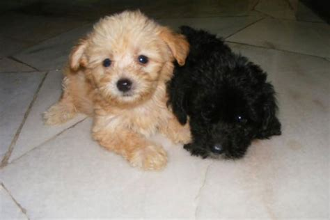 poodle for sale poodle puppies for sale bazar
