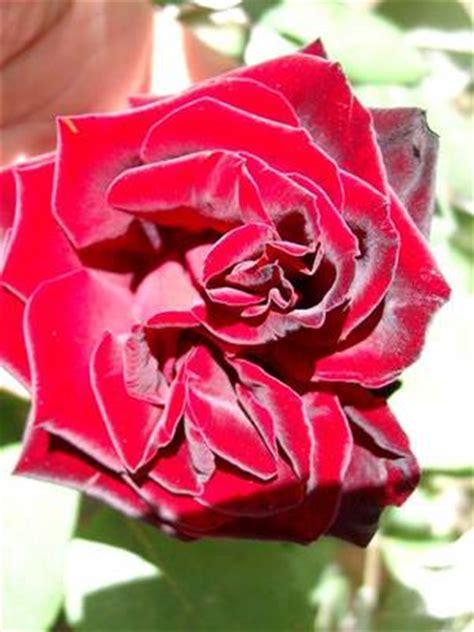 imagenes de rosas terciopelo foto de rosa roja terciopelo fotos en infojardin