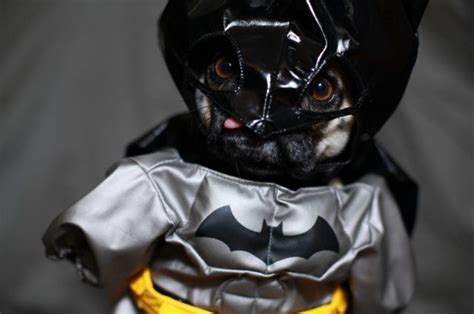 pug batman costume pug in batman costume pictures of animals