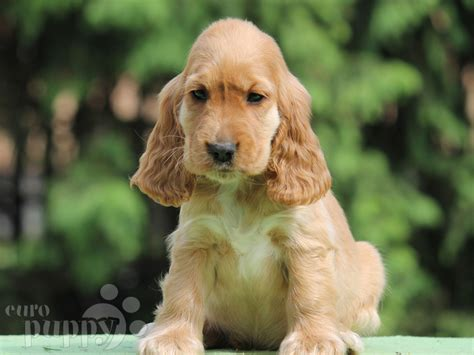 spaniel doodle puppies for sale doodle cocker spaniel puppy for sale puppy
