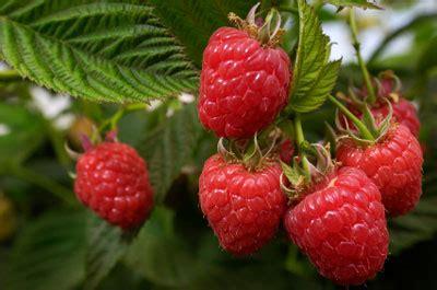 Benihbijibibit Buah Raspberry Mix Import heritage raspberry bush rubus idaeus for sale brighter blooms nursery