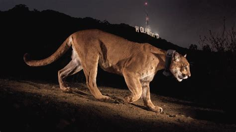 Natgeo Lis the mountain lions of l a big cats in a big city