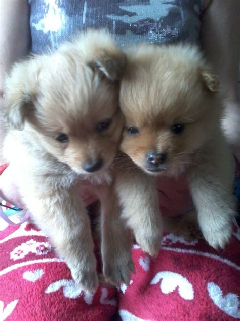 faced pomeranian puppies for sale fox faced pomeranian puppies for sale corby northtonshire pets4homes