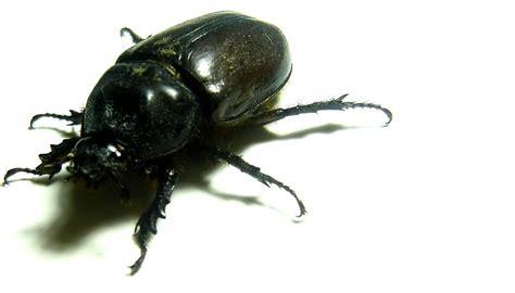 scarafaggio volante sognare scarafaggi il ribrezzo interpretazione sogno