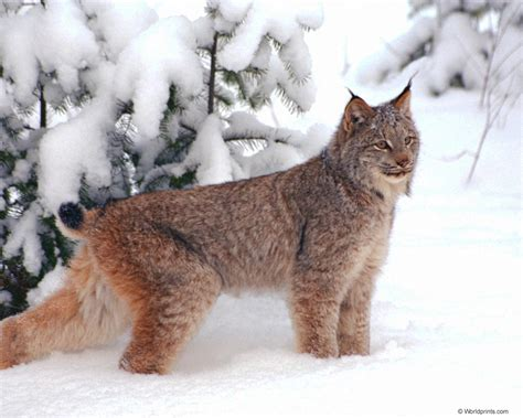 canadian snow lynx caturday felid the missing lynx 171 why evolution is true