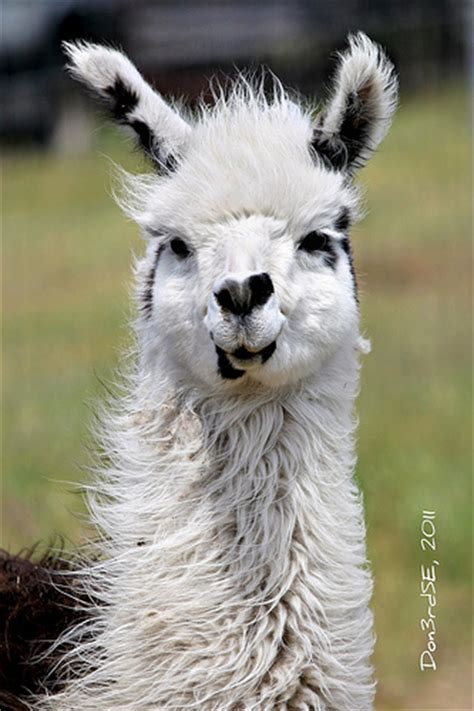 smiling llama hedricks s exotic animal farm flickr