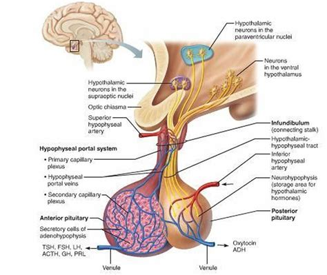 hypothalamus diagram pituitary gland function disorders pituitary gland tumors