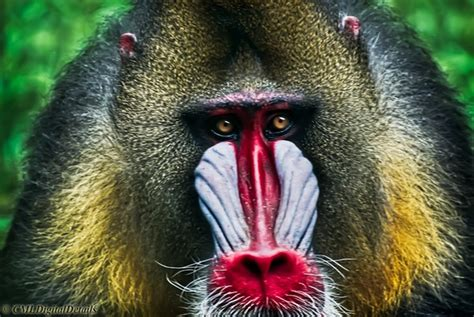 loud  colorful mandrill animal photo