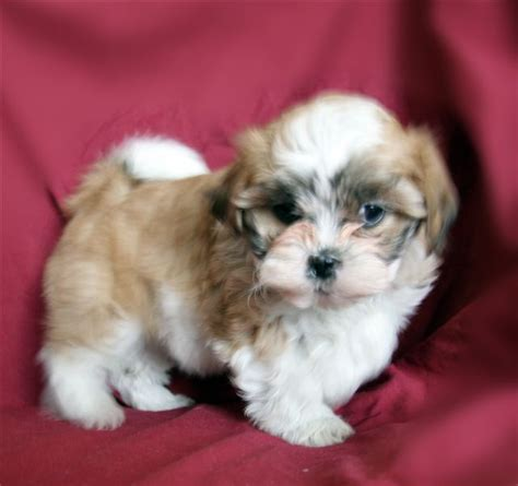 teddy puppy bichon frise puppies in minnesota experienced breeders of bichon frise shihtzu puppies