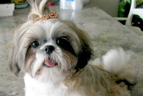 shih tzu tips advice top 35 shih tzu names