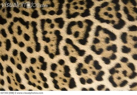 jaguar pattern house cat 17 best images about fur on pinterest distance cute