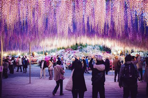 Wisteria In Japan by This 144 Year Old Wisteria In Japan Looks Like A Pink Sky