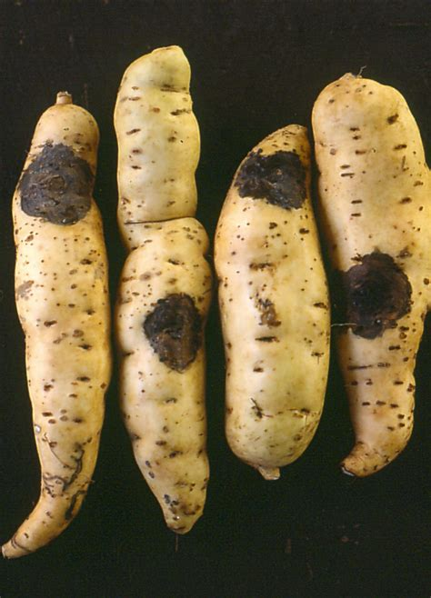 file sweet potato brazil2 jpg wikimedia commons file sweet potato ceratocystis jpg wikimedia commons