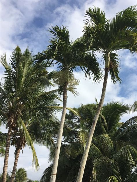 seven 7 healthy beautiful coconut palm trees for sale