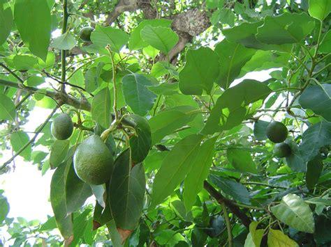 Mata Di Apotik avocado trees produced by waimea nurseries