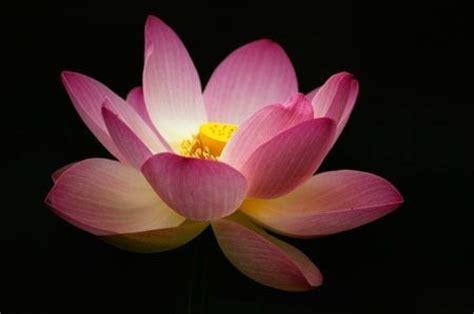 fiori loto loto foto 7 8 pourfemme
