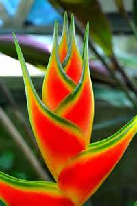 what color is heliconia all heliconia flower photo