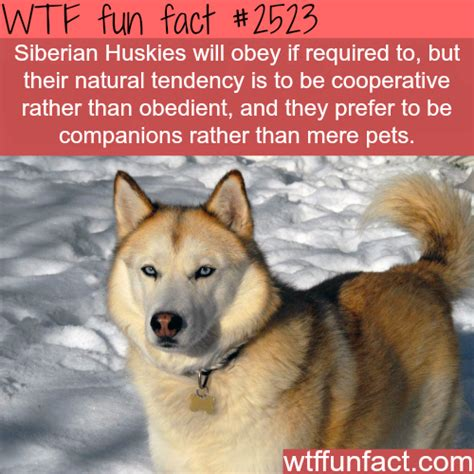 husky puppies information how to keep a from biting your facts about husky dogs black leather