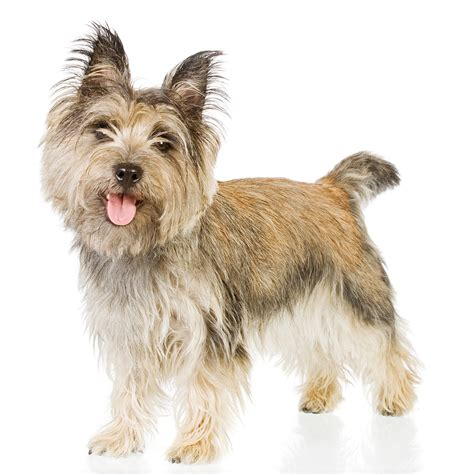 puppies terrier cairn terrier newsletter